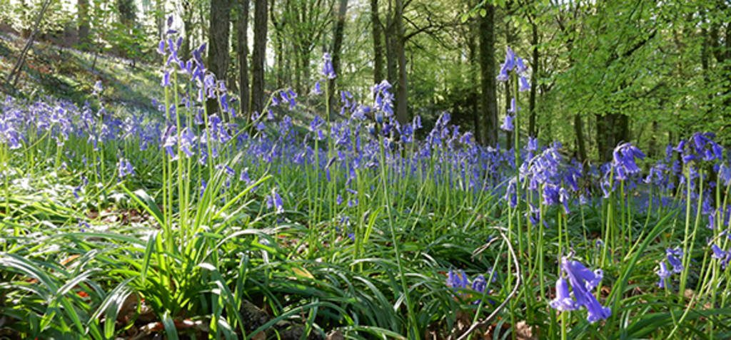 Bluebell Woods Above Kingstone 1024 Wide
